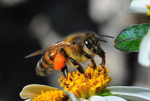 Вызванные падью и химикатами токсикозы могут привести к гибели пчел