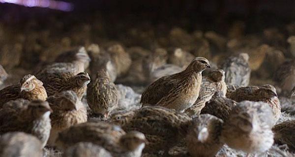 Яйценоскость снижается, если птицу неправильно кормят