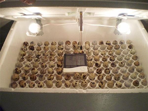 Инкубатор для перепелиных яиц своими руками в домашних условиях