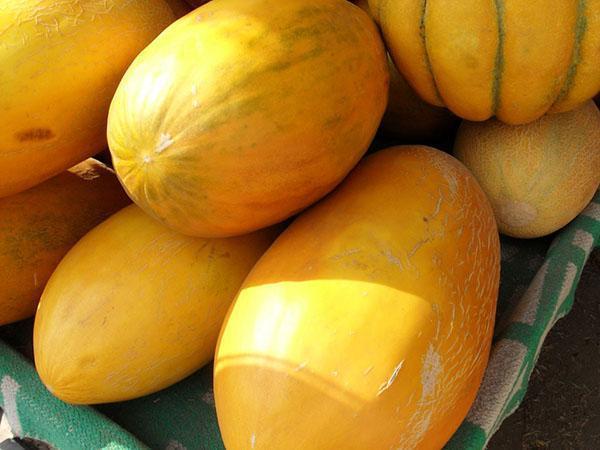 Чарджуйская дыня или Гуляби - популярные сорта и гибриды, видео