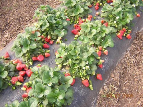 Богатый урожай клубники