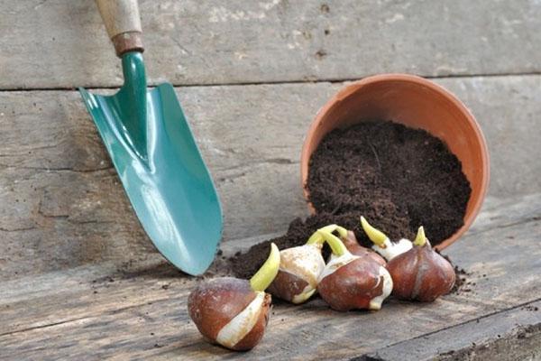 Подготовка луковичных к зимовке