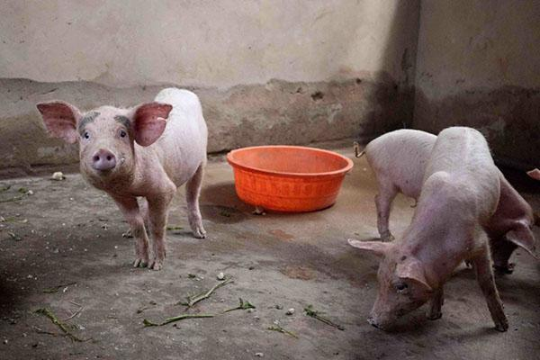 Свинарник на 10 голов своими руками: инструкция, фото и видео 97