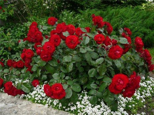 Полиантовые розы уход и посадка