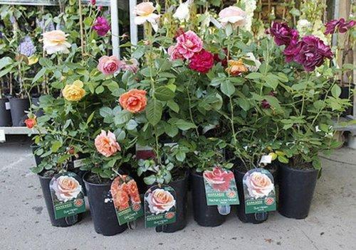 Розы из семян выращивание и уход фото