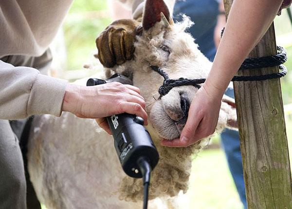 Стрижка овцы специальной машинкой