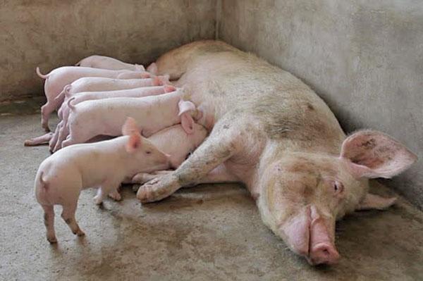 Свинарник на 4 головы своими руками 48