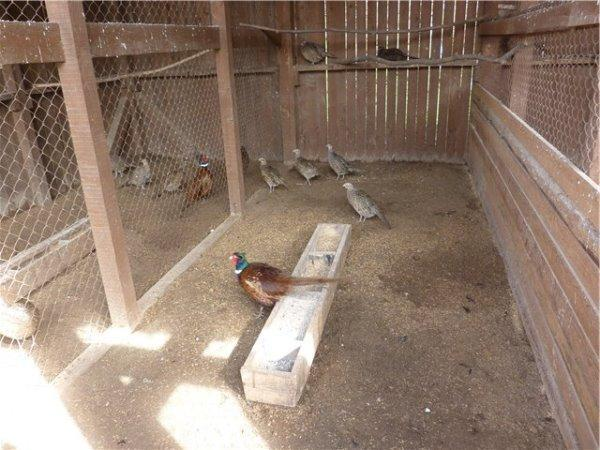 Полигамная семья фазанов