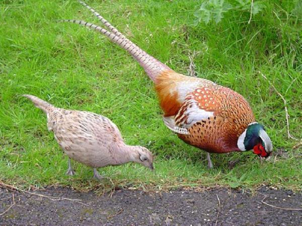 Моногамия у фазанов