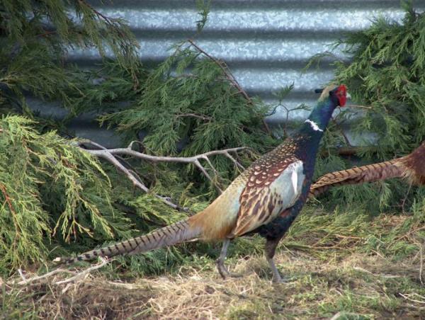 Условия содержания фазанов