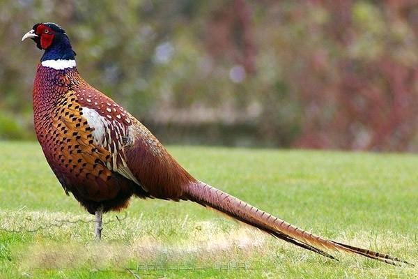 Красота фазанов