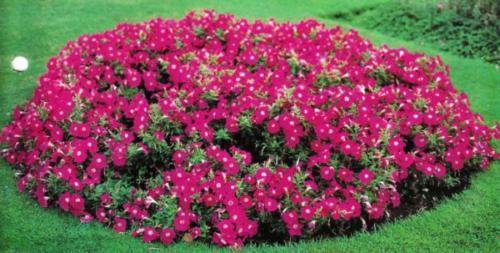 Клумба цветущих петуний
