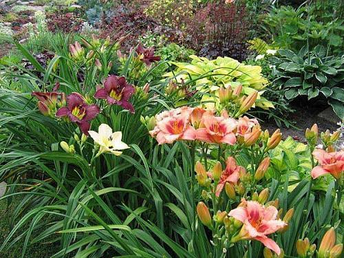 Когда посадить лилейники весной