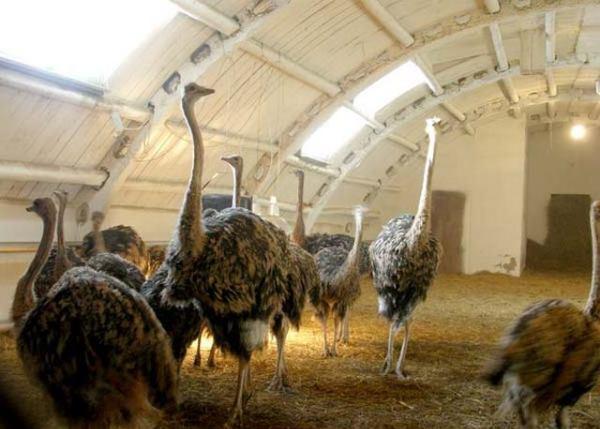 Разведение страусов в домашних условиях на продажу - Ubolussur.ru