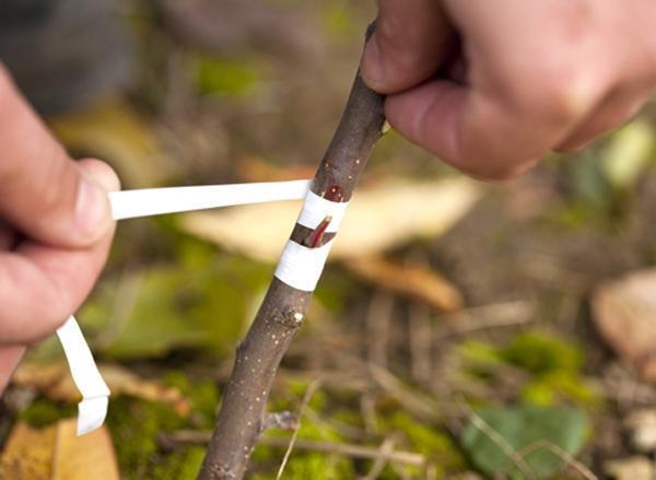 Прививка сорта на дерево