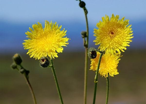 Медоносы высеваемые специально для пчел