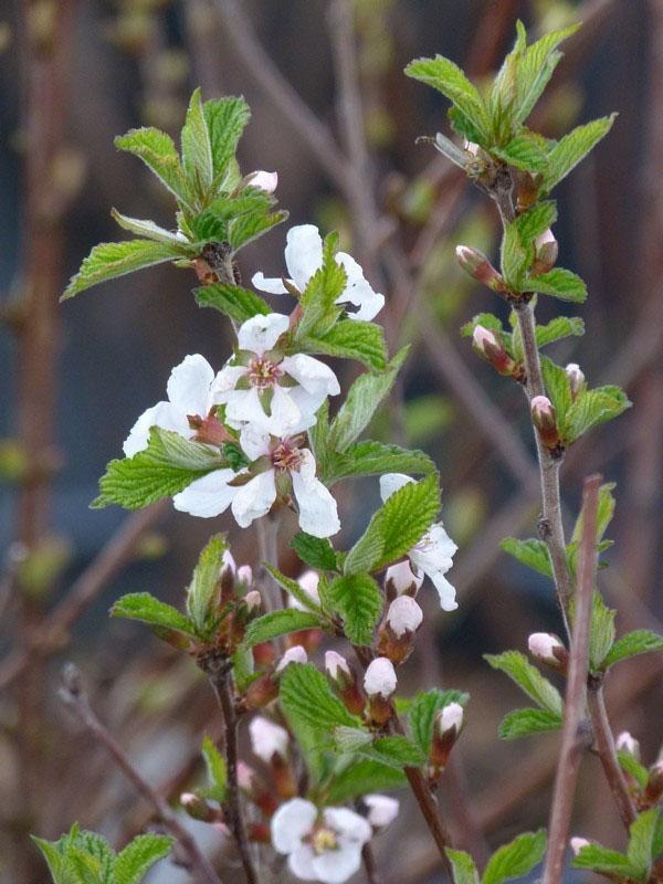 цветет войлочная вишня