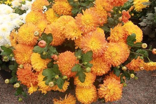 khrizantema-apelsin