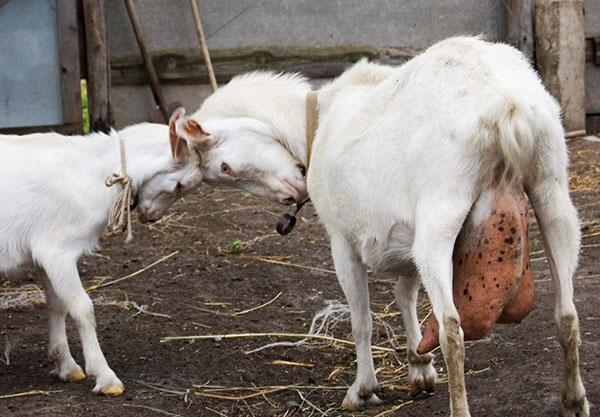 Мастит у козы - лечение в домашних условиях народными средствами, как лечить после окота, причины и признаки заболевания, видео