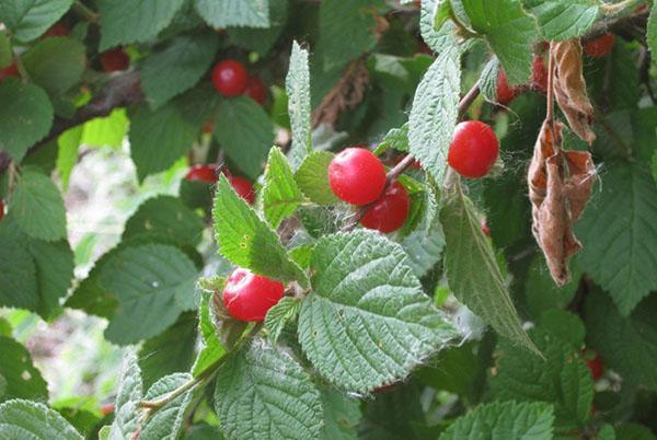 Болезни вишни войлочной описание с фотографиями и способы лечения
