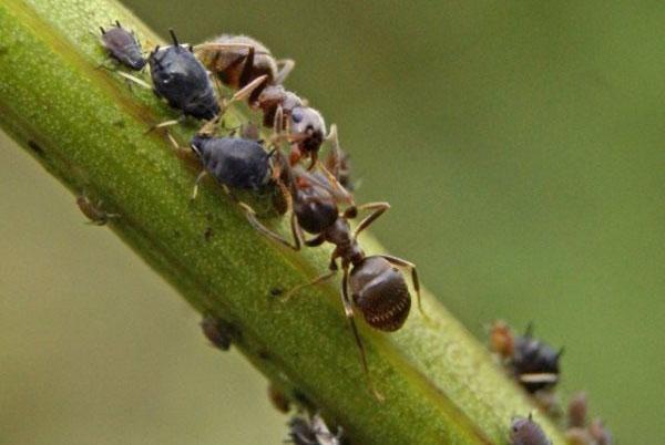 муравьи поедают вредителей