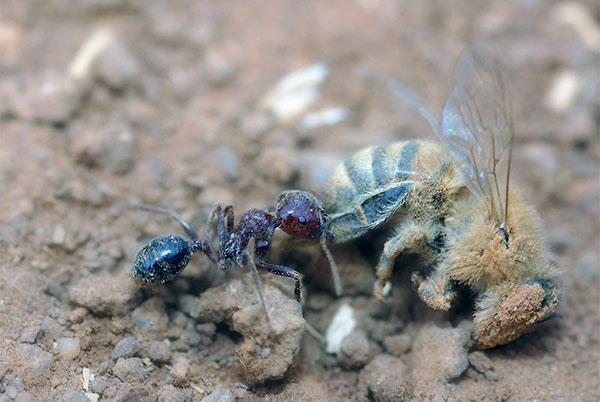 муравьи - угроза пчелам