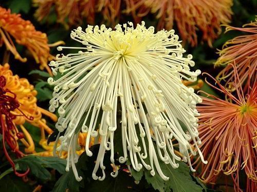 нитевидная хризантема