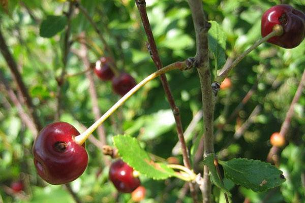 поврежденная долгоносиком вишня