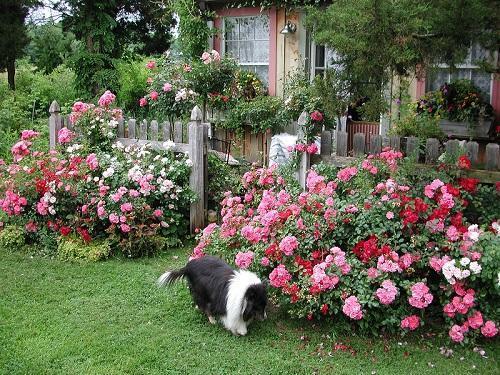 Фото клумбы с почвопокровными розами