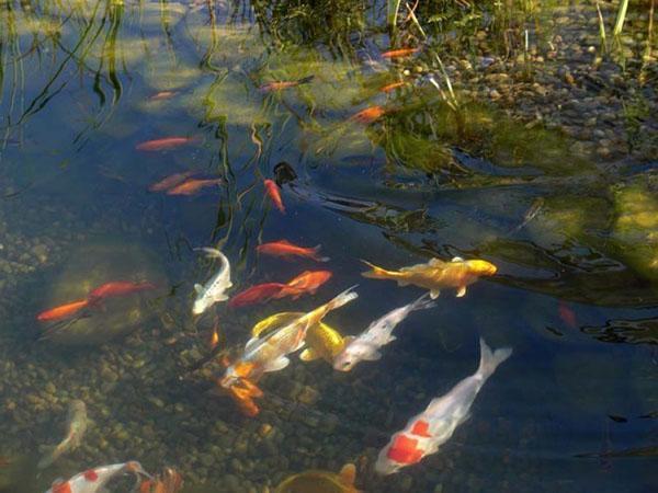 рыбы в пруду