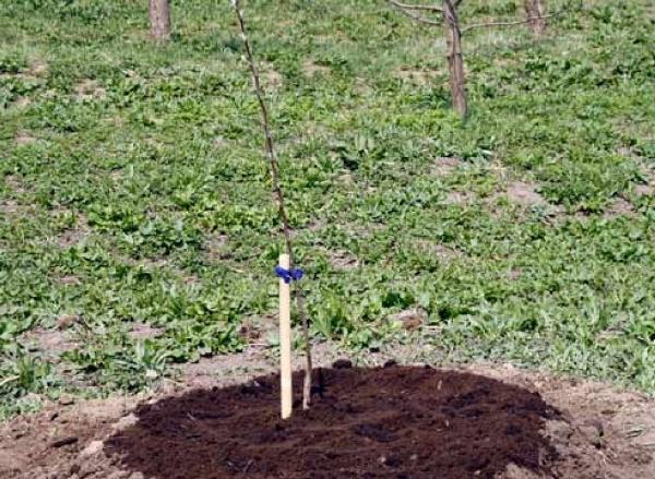 Саженцы плодовых деревьев высаживают осенью