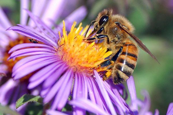 трудится пчела