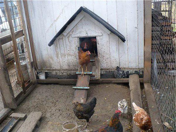 условия содержания кур