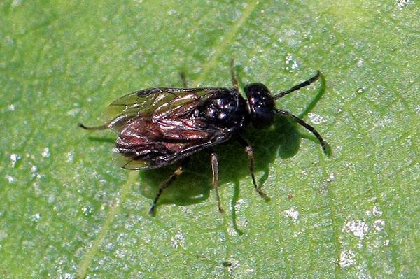 взрослое насекомое пилильщик
