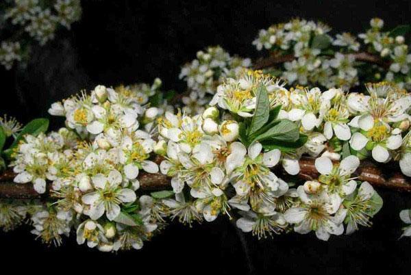 цветет бессея