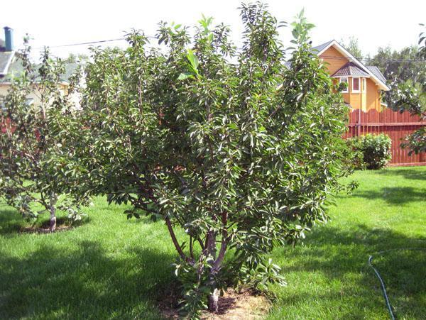 дерево вишня
