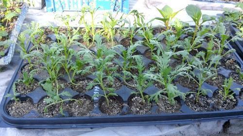 Хризантемы в семенах когда сажать