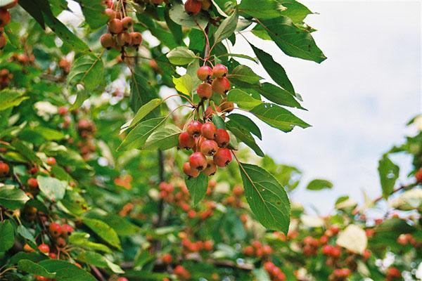 созрели райские яблочки