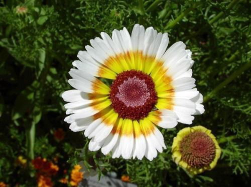 трехцветная хризантема
