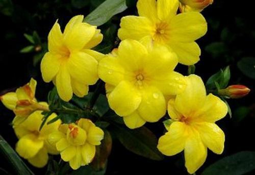 бальзамин желтый