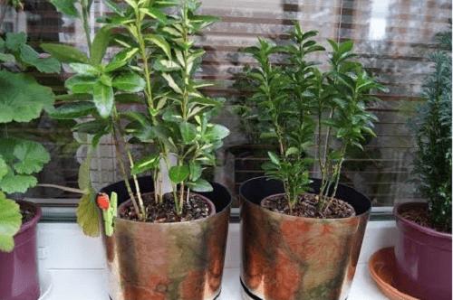 двухгодичные растения бересклета