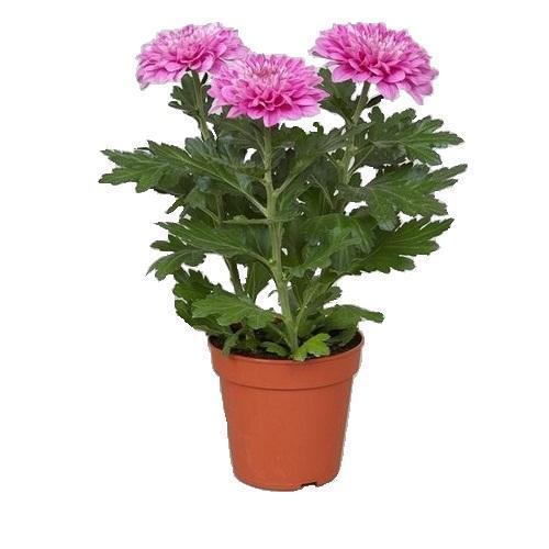 хризантема зембла розовая
