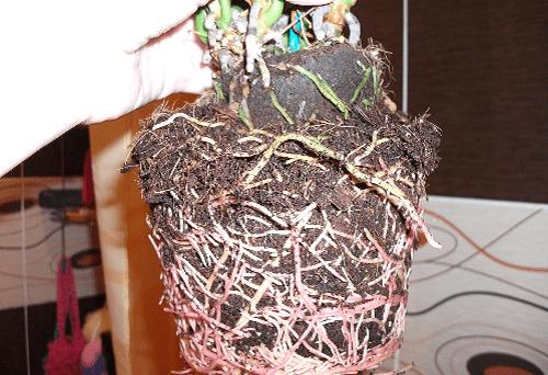 корни антуриума