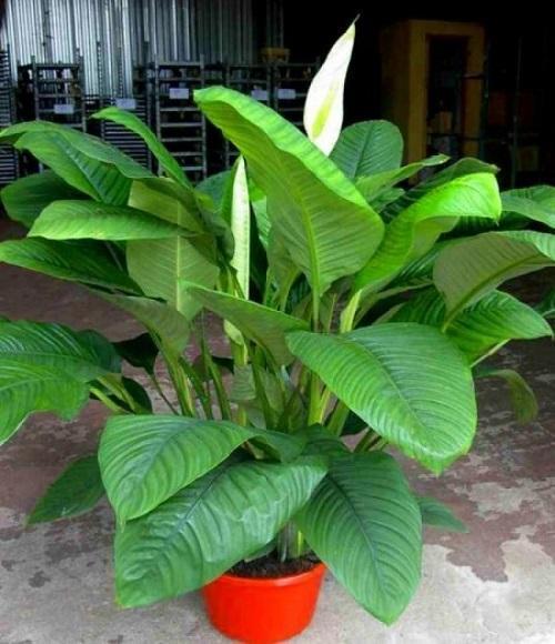спатифиллум с крупными листьями