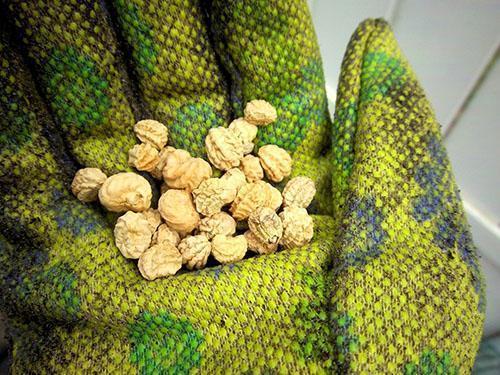 созревшие семена настурции