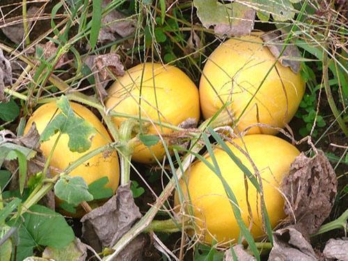 сухие листья у тыквы