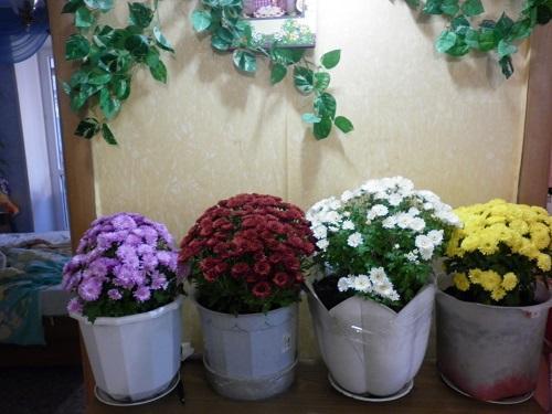 Вырастить хризантему из черенка в домашних условиях