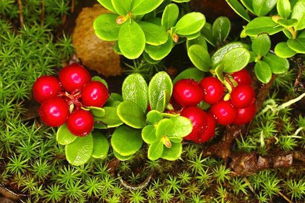ягоды брусники для компота