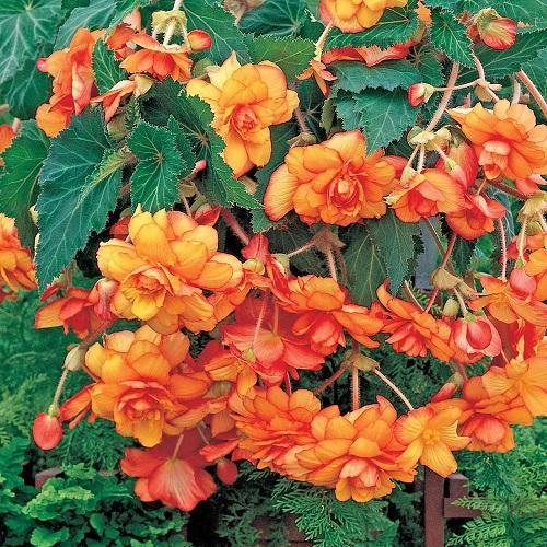 цветущая пикоти