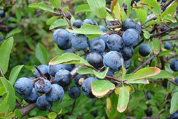 полезные плоды терна